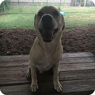 Labrador Retriever/Hound (Unknown Type) Mix Dog for adoption in Homewood, Alabama - Hank