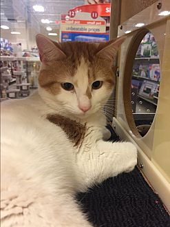 Domestic Shorthair Cat for adoption in Barrington Hills, Illinois - Calvin