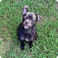Adopt A Pet :: BooBoo - Arlington, VA