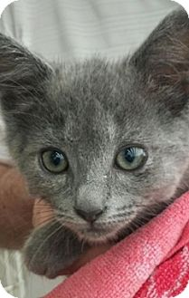 Domestic Shorthair Kitten for adoption in North Highlands, California - Kiley