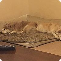 Adopt A Pet :: Schatzi bonded with Maisie - Las Vegas, NV