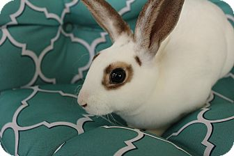 Mini Rex Mix for adoption in Hillside, New Jersey - Bambi