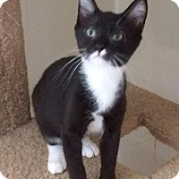 Domestic Shorthair Kitten for adoption in North Haven, Connecticut - Goulash
