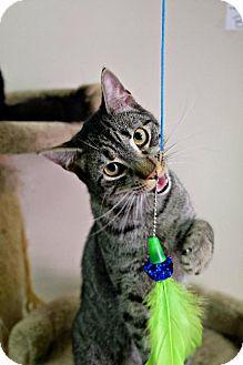 Domestic Mediumhair Cat for adoption in Boston, Massachusetts - Ancho