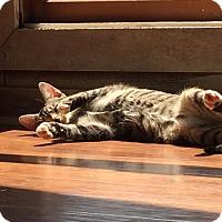 Adopt A Pet :: Parsley - Harrisonburg, VA