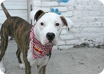 American Pit Bull Terrier Mix Puppy for adoption in Manhattan, New York - Jackson