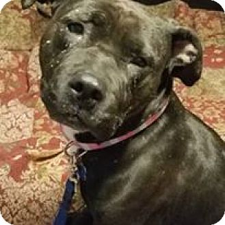 Pit Bull Terrier Mix Dog for adoption in Pataskala, Ohio - Bailey