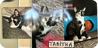 Domestic Shorthair Kitten for adoption in Island Park, New York - Tabitha