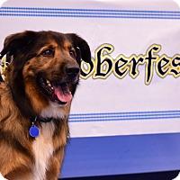Chow Chow/Shepherd (Unknown Type) Mix Dog for adoption in Scottsdale, Arizona - Bear