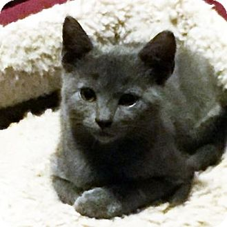 Domestic Shorthair Kitten for adoption in Austin, Texas - Xirena