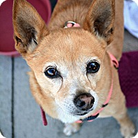 Adopt A Pet :: Tinkerbell - Idyllwild, CA