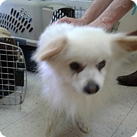 Adopt A Pet :: Gizmo - Fayetteville, WV