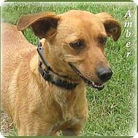 Adopt A Pet :: Amber-Stop and See Me! - Marlborough, MA