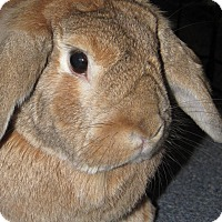Lop-Eared Mix for adoption in Warren, Michigan - Finnigan