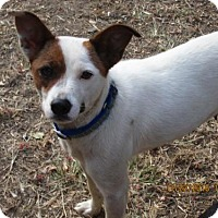 Jack Russell Terrier/Feist Mix Dog for adoption in South Burlington, Vermont - SASSIE
