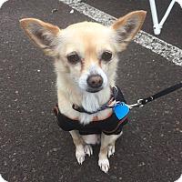 Adopt A Pet :: Nacho - Bucks County, PA