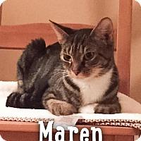 Domestic Shorthair Cat for adoption in Merrifield, Virginia - Maren