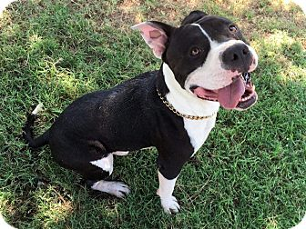 Bulldog/Pit Bull Terrier Mix Dog for adoption in Everett, Washington - Chaz