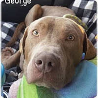 Adopt A Pet :: George - Burlington, NC