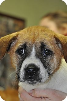 Boxer Mix Puppy for adoption in Millersville, Maryland - Leila
