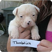 Adopt A Pet :: Thumbelina - nashville, TN