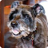 Adopt A Pet :: Humphrey Bogart - Austin, TX