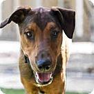 Adopt A Pet :: Whizzer