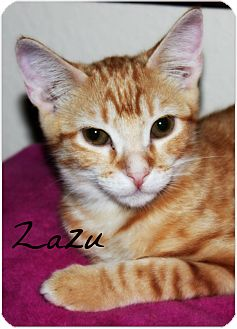Domestic Shorthair Cat for adoption in McKinney, Texas - Zazu