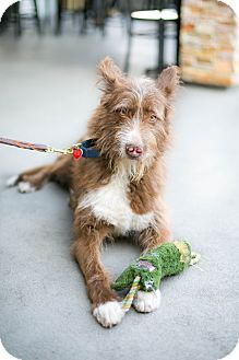 Border Collie/Briard Mix Dog for adoption in Los Angeles, California - Thurman