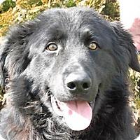 Adopt A Pet :: Duke - Germantown, MD