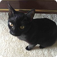 Domestic Shorthair Cat for adoption in Gaithersburg, Maryland - Wonton