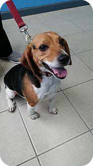 Beagle Mix Dog for adoption in Lake Orion, Michigan - Bandit