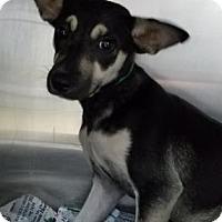 Adopt A Pet :: Pasha - Miami, FL