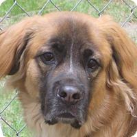 St. Bernard/Golden Retriever Mix Dog for adoption in Sudbury, Massachusetts - Llamo