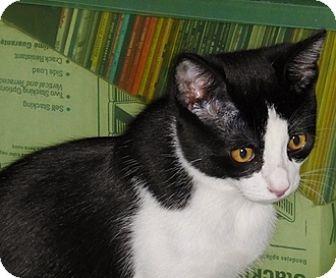 Domestic Mediumhair Cat for adoption in Fremont, California - Romeo