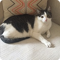 Domestic Shorthair Cat for adoption in Addison, Illinois - Bubbles
