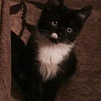 Adopt A Pet :: Blossom - Cerritos, CA