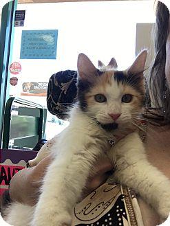 Calico Kitten for adoption in La Quinta, California - Queenie