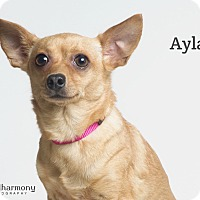 Chihuahua Mix Dog for adoption in Chandler, Arizona - Ayla