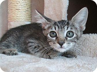 Domestic Shorthair Kitten for adoption in San Bernardino, California - Mystic
