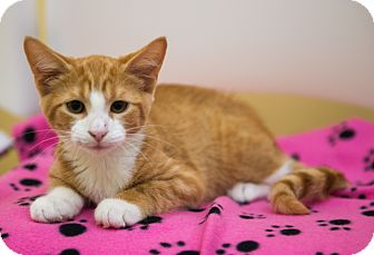 Domestic Shorthair Kitten for adoption in Mooresville, North Carolina - A..  Ozark