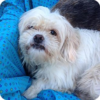 Lhasa Apso Mix Dog for adoption in Memphis, Tennessee - Coco