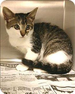 Domestic Shorthair Kitten for adoption in Atlantic City, New Jersey - Sunny