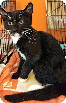Domestic Shorthair Kitten for adoption in Middletown, New York - Barley