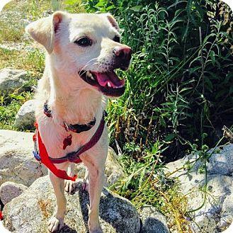 Basenji/Chihuahua Mix Dog for adoption in Seattle, Washington - Jionni