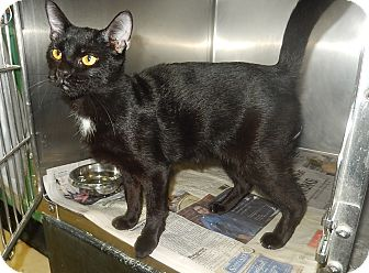 Domestic Shorthair Cat for adoption in Newport, North Carolina - Berry