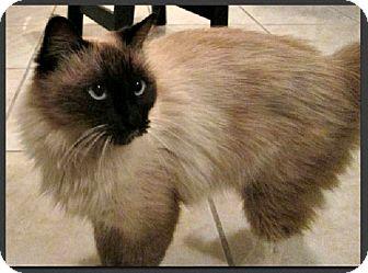 Snowshoe Cat for adoption in Gilbert, Arizona - Alaina
