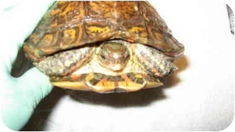 Turtle - Other for adoption in Las Vegas, Nevada - Myrtle