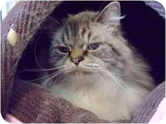 Himalayan Cat for adoption in Morden, Manitoba - Beau