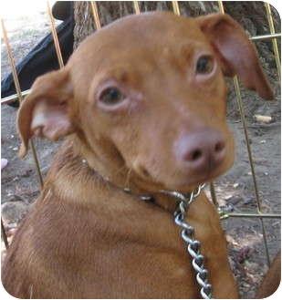 Miniature Pinscher Puppy for adoption in Sun Valley, California - Puppy female